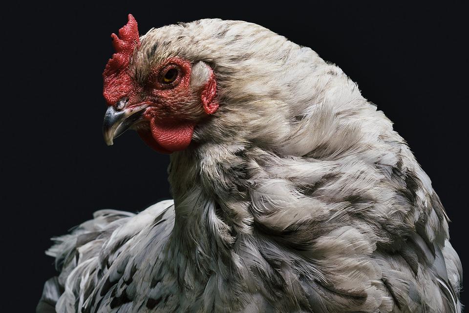 Ptasia grypa w Barczewie